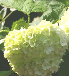 <h2><br/>緑色が美しい、小さなあじさいのようなお花。お花の引き立て役として、グリーンのように使います。とても人気の花材です。春には国産品が出回り、その他の時期にはオランダからの輸入品が出回ります。</h2>
