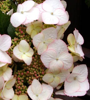 <h2><br/>新種の額あじさい&lsquo;アルテミス&rsquo;。オフホワイトにほんのりグリーンがかっていて、ガクの縁は、赤。ピンクや赤いお花の添えとして使いましょう。</h2>