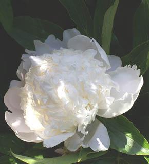 <h2><br/>スノーホワイトの大輪、大変華やかで美しい芍薬です。女性的な美しさと凛とした高貴さを持つこのお花は、最近のブライダルシーンでは、とても人気です。このお花を主役に、純白の挙式用ブーケはいかがでしょうか?</h2>