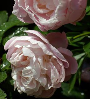 <h2><br/>外側がピンク、内側にむかって淡いピンク。濃いピンクや赤いお花との合わせをおすすめいたします。優しい女性的なイメージのブーケに使いたいお花です。</h2>