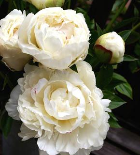 <h2><br/>オフホワイトの大変美しい芍薬です。ブーケやアレンジの主役のお花として使いましょう。純白で無垢なイメージを生かして脇役になるお花は選びたいものです。ドレスにも和装にも似合うお花です。</h2>