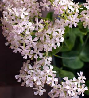 <h2><br/>ピンク色の小さなお花がたくさん集まって咲く様子が、何とも愛らしい。ほんのりピンク色を入れたい、繊細なイメージをプラスしたい、ときに使いましょう。素敵な脇役です。</h2>