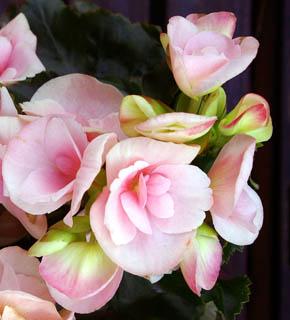 <h2><br/>淡いシュガーピンク色をしたお花です。バラなどと組み合わせると、素敵なブーケになります。アレンジにもおすすめです。</h2>