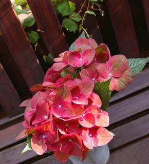 <h2><br/>ネーミング通り、鮮やかな赤に渋い緑色が混ざった、日本では珍しいあじさいです。主役のお花の引き立て役として使いたい。ピンク系との合わせは、可愛らしい仕上がりに。グリーン系と合わせると大人っぽい仕上がりになります。 <br /></h2>