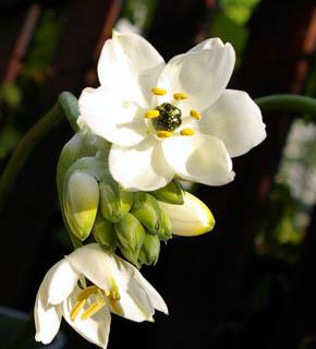 <h2><br/>白いお花がいくつか集まって咲きます。 程よくつぼみがついている咲き加減で使うのがおすすめ。茎のラインをいかして、自然なスタイルにアレンジしたいお花です</h2>