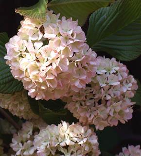 <h2><br/>淡いグリーンにほんのりピンクがかった、あじさいを小さくしたようなお花です。昔の遊具&lsquo;まり&rsquo;のような形をしていることから「手まり」という名がついている、愛らしいお花です。主役のお花を引き立ててくれる、優等生のようなお花です。</h2>