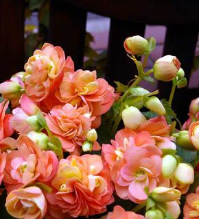 <h2><br/>新品種&lsquo;シャンテロココ&rsquo;。オレンジ色からピンクへのグラデーションが非常に美しいベゴニアです。 ネーミング通り、華やかで気品のある雰囲気を持っているので、アレンジにもブーケにも使いたいお花です。</h2>