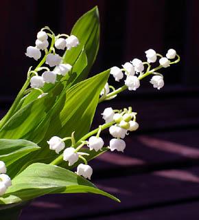 <h2><br/>1本に10個程度の小さな鈴のようなお花をつける、すずらん。うつむくように楚々と咲く姿が何とも愛らしいお花です。ブーケにアレンジに、春らしさを添えてくれます。</h2>