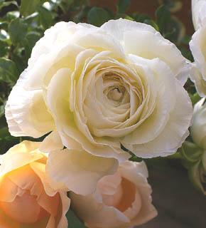 <h2><br/>丸くてぽってりとした花形。幾重にも折り重なるうすい花びらが、やわらかい印象を与えるお花です。ブーケにもアレンジにもお使いいただけます。春の演出には欠かせないお花です。淡い色からビビットな色まで、カラーバリエーションは豊富です。</h2>