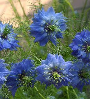 <h2><br/>繊細な花びら、細くとがった葉、風にゆれる細い茎のラインがナチュラルで印象的です。青のほかには、白いお花もあり、ブーケのニュアンスに使われます。</h2>