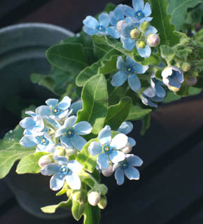 <h2><br/>青い星の形をしたキュートなこのお花は、女性たちの人気の的。バラなどの主役のお花の間に散りばめるようにして使います。&lsquo;サムシングブルー&rsquo;にもよく使われるお花です。</h2>
