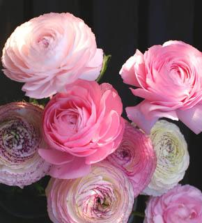 <h2><br/>何層にもやわらかい花びらを重ねた、春の代表的なお花です。黄色・赤・オレンジ・白とカラーバリエーションは豊富。ブーケにも、 アレンジにもどうぞ。</h2>