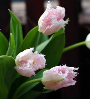 <h2><br/>花弁がギザギザのチューリップです。お洋服のフリルのように咲いて、黄色い花芯が見えるのが、可愛らしい。やさしくて、かわいいブーケに使いたいお花です。</h2>