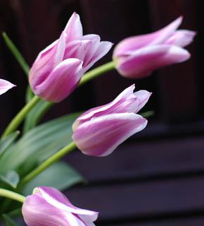<h2><br/>つんと、とがった咲き方(ユリ咲き)のチューリップ。落ち着いたピンクに白いふちどりが特徴的です。やさしい、女性的なお花です。</h2>