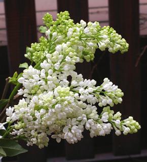 <h2><br/>房いっぱいに、小さなお花をつけるライラックは、春のウエデイングでは、人気NO.1のお花と言えるかもしれません。11月から輸入もの、3月から5月は、国産ものが入荷。ブーケにもアレンジにもおすすめです。</h2>