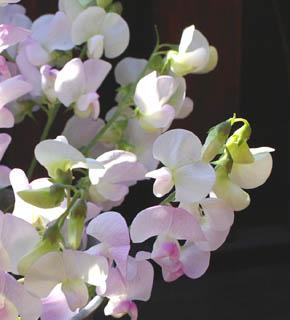 <h2><br/>ふつうのスィートピーに比べると、花形が丸みをおびていて、可愛らしくやさしいイメージです。他には、ホワイトもあります。ブーケ用のお花として、人気の花材です。</h2>