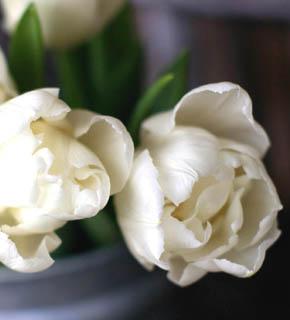 <h2><br/>白い八重咲き。ぽってりとした咲き方が愛らしく、開くとボリュームがでて、華やかな印象になります。どんなお花と組み合わせてもいいでしょう。</h2>