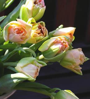 <h2><br/>浅い緑色の中に、幾重にも重なったオレンジ色の花びら。とても、キュートな八重咲きのチューリップです。明るい春のイメージにぴったりのお花です。</h2>