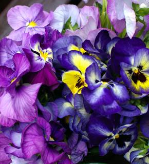 <h2><br/>紫色のグラデーションと黄色のコントラストが美しい春のお花。小さめのクラッチブーケやテーブルのお花に、可憐さを添えてくれます。</h2>