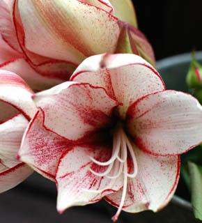 <h2><br/>大輪のお花を咲かせる球根花。燃えるような赤、清楚な白、さわやかなライムグリーンなど、種類は、たくさんあります。日本国内やオランダからの輸入もあり、年間を通して入手可能です。主役になる豪華なお花。</h2>