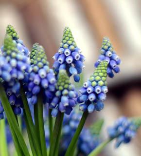 <h2><br/>チューリップより、一足先にかわいいお花を咲かせる球根花。青くて小さいお花が人気です。&lsquo;サムシングブルー&rsquo;のブルー使いにどうぞ。</h2>