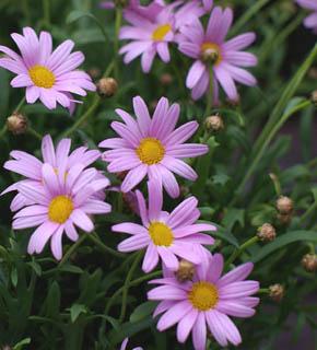 <h2><br/>白い花が大半を占めるマーガレット。ピンク色で小さめのお花です。流通量は、少なめ。ひらひらと動きを出して、春のやわらかいイメージに仕立てましょう。</h2>