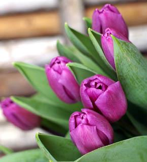 <h2><br/>赤紫色のシックなチューリップです。 うすい色目のお花と組み合わせてみては、いかがでしょうか?</h2>