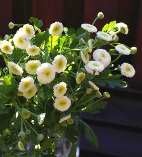 <h2><br/>添え花として、最高にかわいい菊科のお花。ころころと丸いフォルムが、アレンジやブーケにニュアンスを与えてくれます。</h2>