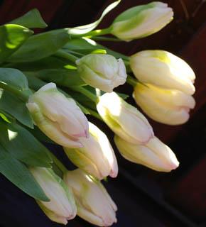 <h2><br/>くりっとカールした花びら、うっすらとピンク色とグリーンが入った、やさしいイメージのチューリップ。ピンク系のお花と合わせてやわらかい印象のブーケに仕立てましょう。</h2>