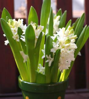 <h2><br/>スノーホワイト・淡くてやさしいシュガーピンク・うすい紫・濃いピンクと紫色があります。春を代表する球根花で、大変香りのよい花です。早春のウエディングにおすすめです。テーブルアレンジにしつらえて、春らしさを演出。クラッチブーケにもどうぞ。</h2>