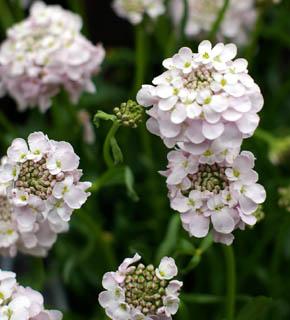 <h2><br/>うすいピンク・濃ピンク・紫色などのバリエーションがあります。小さなお花が寄り集まって咲く、ニュアンスのあるかわいいお花です。添えのお花におすすめです。</h2>
