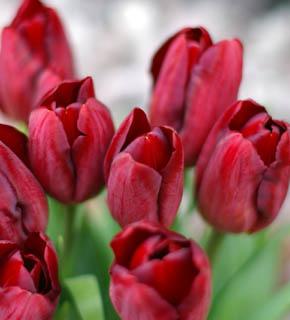 <h2><br/>真っ赤でインパクトのある色のチューリップです。黒い実ものと合わせると、素敵なブーケになります。アイボリーのお花と合わせるとかわいらしく、明るい印象の仕上がりになります。</h2>