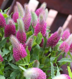 <h2><br/>ピンク色のクロバーの一種。ナチュラルで動きのあるラインが、やさしい野の花の趣をだしてくれます。デザインのニュアンス出しにむくお花です。</h2>
