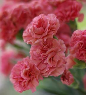 <h2><br/>チェリーピンクのかわいいカーネーション。アイボリー系のお花をメインに、添え花として使いたいお花です。</h2>