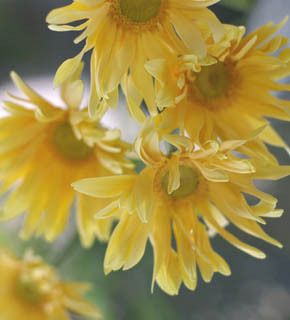 <h2><br/>最近お目見えした新しい品種。大輪で花びらが蝶々のようにひらひらとよじれた、動きのあるガーベラ。明るく元気なイメージのお花です。</h2>