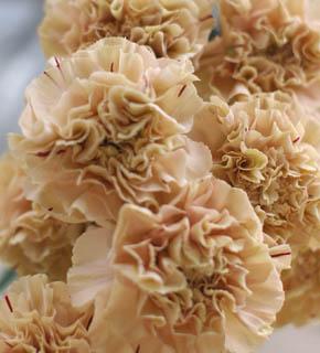 <h2><br/>やさしいベージュの大輪カーネーション。茶系やさび色、アイボリーとの相性がいい、脇役的存在のお花です。</h2>