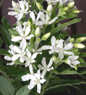 <h2><br/>白い星型のお花とスモークがかった草色がブーケ全体をやわらかいトーンに まとめてくれます。花の色が青いブルースターも人気です。</h2>