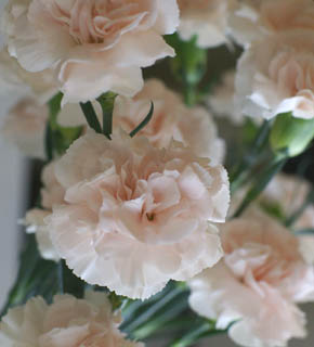 <h2><br/>ネーミング通り、ふわふわのピンク色。やさしい香りのする大輪カーネーションです。バラなどの引き立て役に。</h2>