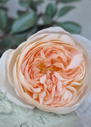 <h2><br/>アプリコット色のイングリッシュローズです。 存在感のあるロゼット咲きのエレガントな バラです。やさしい色合いがウェディングに ぴったりです。</h2>