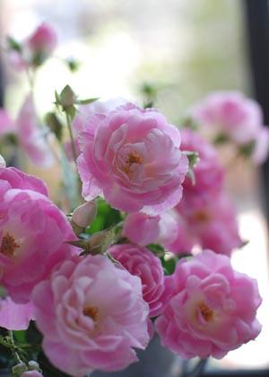 <h2><br/>ひらひらと花びらが重なり合ったキュートなスプレーバラです。ピンクの濃淡が魅力的で、ふんわりとあまいブーケに仕上がります。</h2>