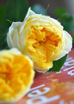 <h2><br/>コロンとかわいらしいロゼッタ咲きのバラです。爽やかな春のウェディングにぴったりですね。元気が出るような色合いです。</h2>