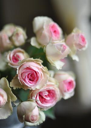 <h2><br/>小さくコロンとしたスプレーバラです。白いつぼみが開くと内側にかわいらしいピンクの花びらが何枚も重なっています。</h2>