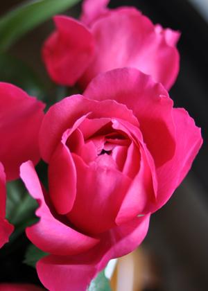 <h2><br/>存在感のあるホットピンクの大輪バラです。インパクトのあるお洒落なブーケやパーティー装花にもいいですね。</h2>