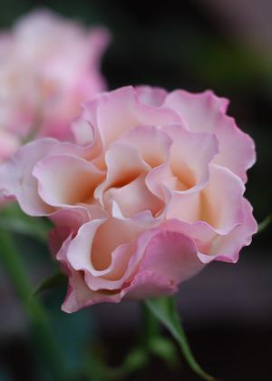<h2><br/>ふりふりの花びらが特徴的なとってもキュートなスプレーバラです。存在感のある、かわいらしいブーケに仕上がります。</h2>