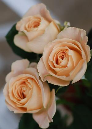 <h2><br/>優しいアプリコット色の大輪バラ。 たいへん美しく、ボリュームもありブーケに 人気のお花です。 香りがあるのも魅力的です。</h2>