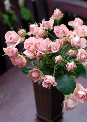 <h2><br/>カントリーガールとよく似ていますが、花びらの色が微妙に違っています。丸くころりと咲く、中輪タイプのスプレーバラで人気のある色合いです。</h2>