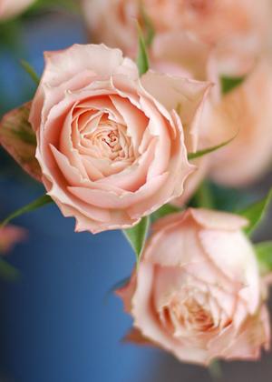 <h2><br/>花弁が多く、ころんとした丸い花形がかわいらしいスプレーローズ。鮮やかなピンクと渋いピンクが混ざり合う絶妙な色合いです。</h2>
