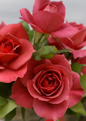 <h2><br/>とても珍しい上品な深みのある色のバラ。開花とともに青みが出てきて、花の色合いが少しづつ変化していきます。たいへん美しい主役級のお花。</h2>
