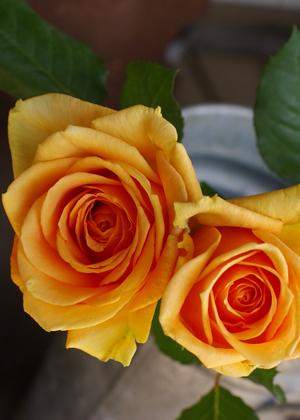 <h2><br/>マットな質感の明るい山吹色の大輪バラ。抱え咲きで優しい印象を与えてくれます。お色直しのブーケやカジュアルなパーティーのブーケにも似合います。</h2>