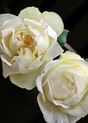 <h2><br/>深いカップ咲きのモダンローズはまるで芍薬のように咲き誇る高貴な美しさ。花びらのゴージャスさと繊細さを生かした、デザイン性の高いブーケに仕上がります。</h2>